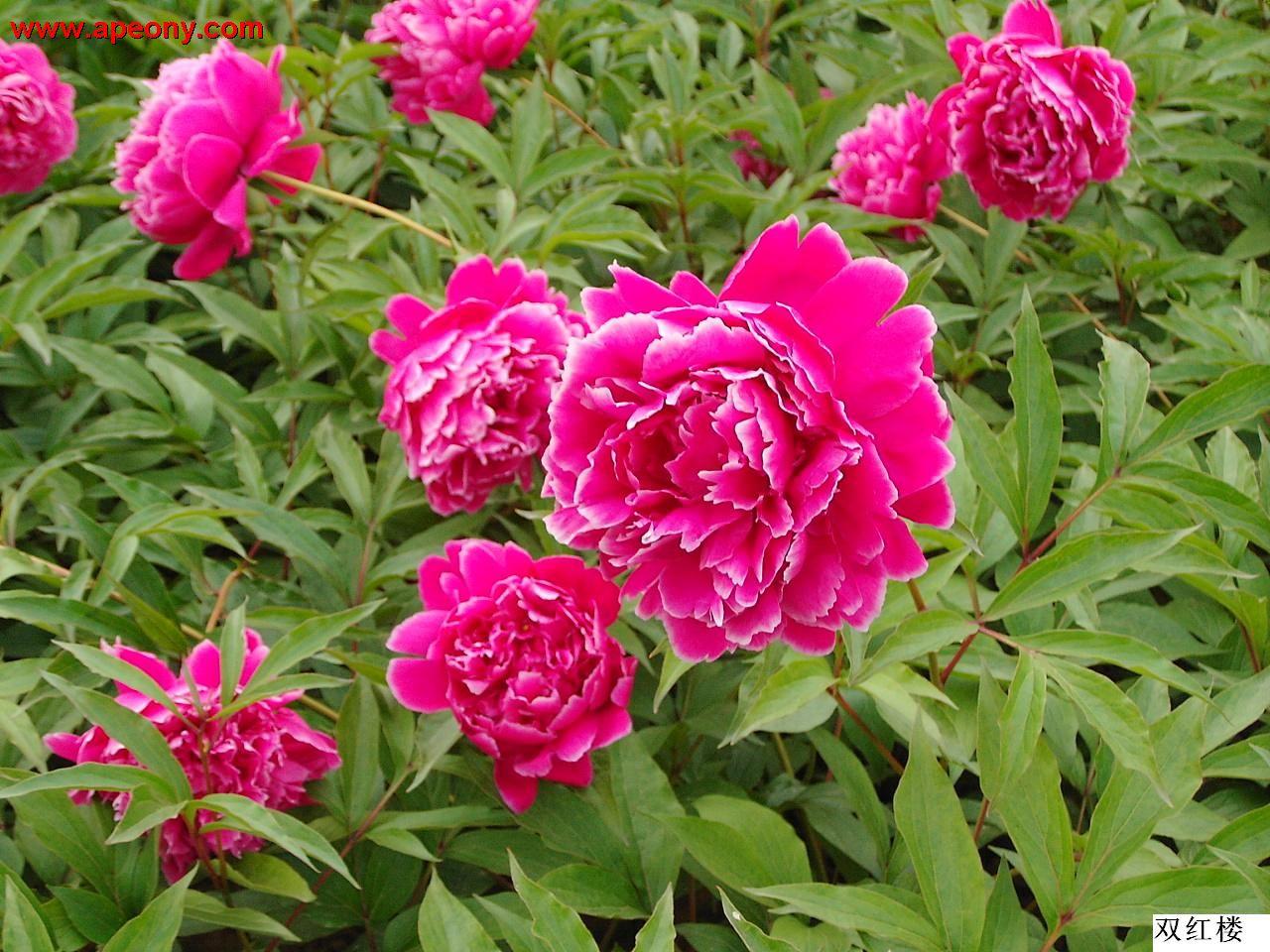 芍药花和牡丹花适合什么样的土壤种植展开 ===========突袭网收集的解